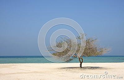 Lone mesquite tree in Al Jazair sea beach Bahrain