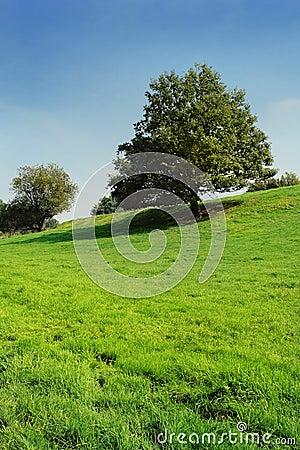 Lone oak tree on fresh grassland slope.