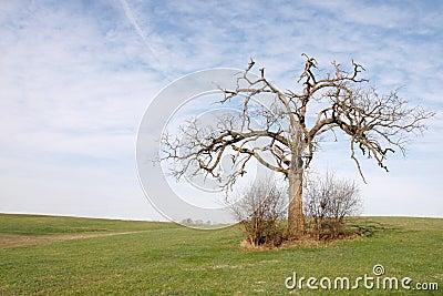 LOne Oak tree (Spring)
