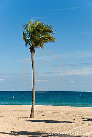 Lone palm tree on a windy,sunny day