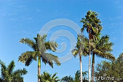 Lone palms tree on a windy,sunny day