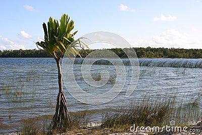 Lone palmtree