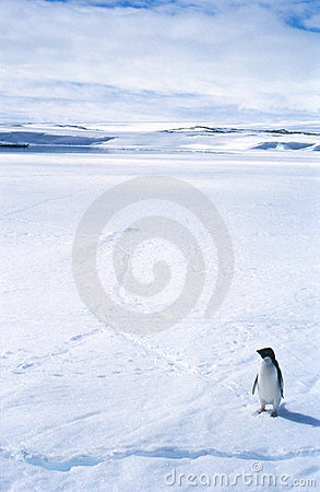 Lone Penguin on Sea Ice