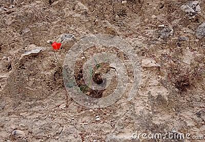 Lone Poppy on Stony Ground
