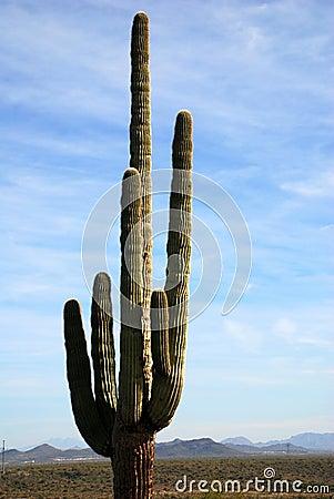 Lone saguaro cactus in desert