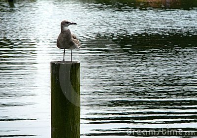 Lone seagull waiting on a pier