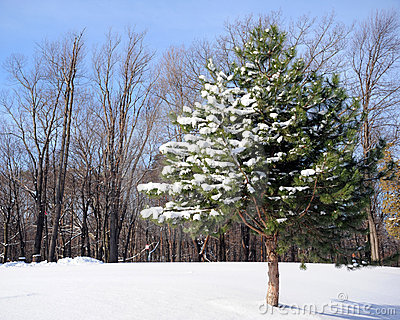 Lone Snow-Covered Pine