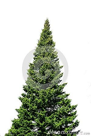 Lone spruce tree on white