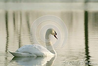 Lone swan at winter sunset