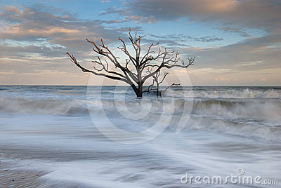 Lone Tree in Atlantic Ocean Charleston