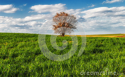 Lone tree in the field