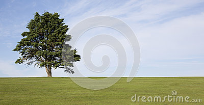 Lone tree on golf course