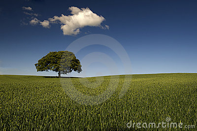 Lone tree in green field