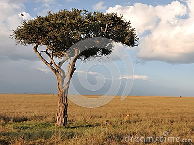 Lone tree in Masai Mara