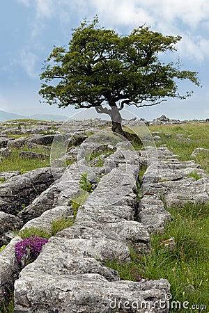 Free Lone Tree With Limestone Pavement Stock Image - 112125421