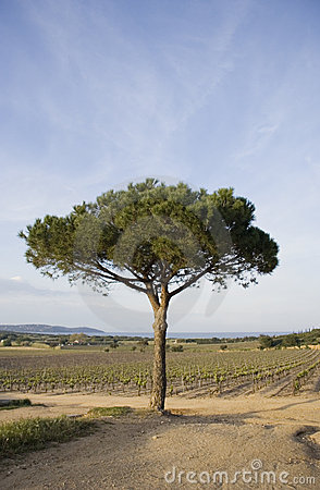 Lone umbrella pine in a vineyard