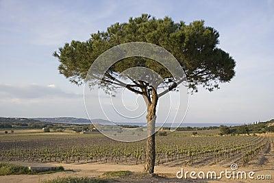 Lone umbrella pine in a vineyard