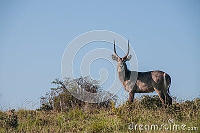 Lone waterbuck standing on ridge