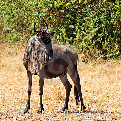 A lone wildebeest is in the savannah