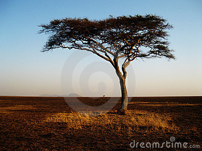 Lonely african tree in the Serengeti,