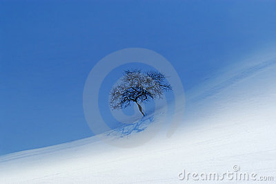 A lonely apple tree