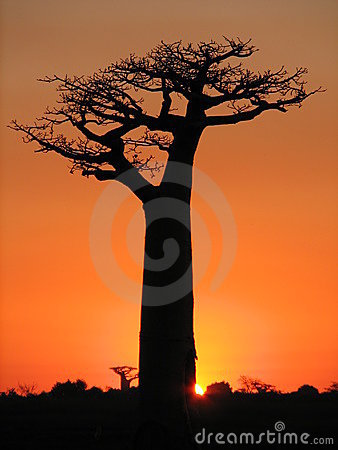 Lonely baobab at sunset