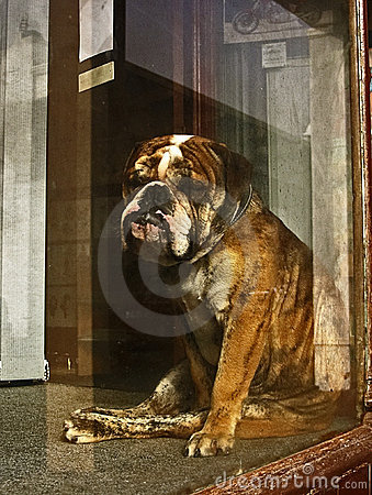 Lonely Bull Dog In A Window