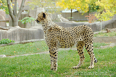 Lonely Cheetah at the Zoo