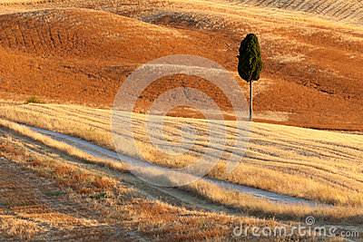 Lonely cyprus, Tuscany, Italy