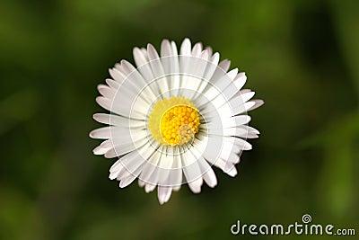 Lonely daisy