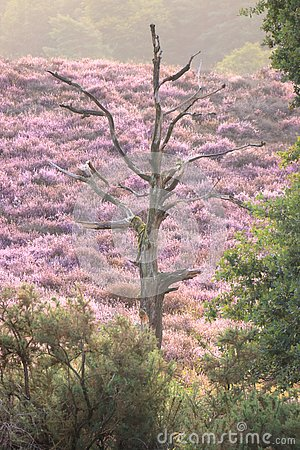 A lonely dead tree in a field of purple coloured blooming heather