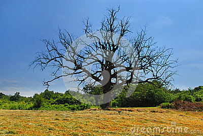 Lonely dry tree