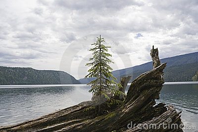 Lonely fir tree on driftwood