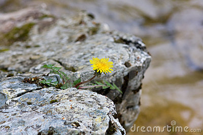 Lonely flower on a rock