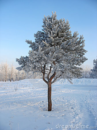 Lonely frosty pine-tree