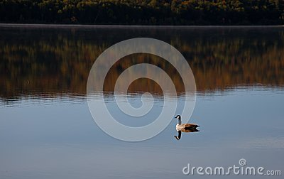 Lonely goose on the lake