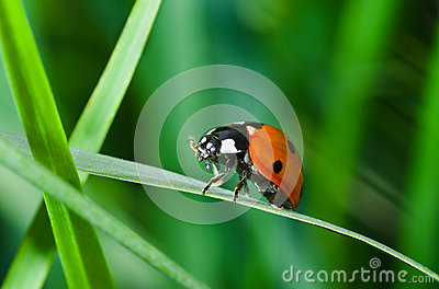 Lonely ladybird in green grass