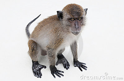 Lonely macaque on white isolation