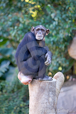 Free Lonely Monkey Sitting On Top Of A Large Tree Trunk Stock Photography - 576392