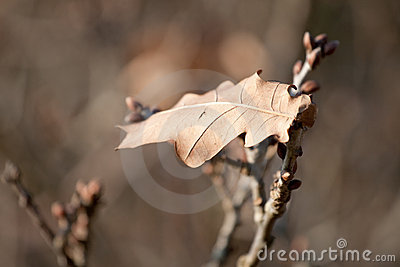Lonely oak leaf in late autumn