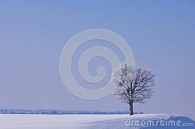Lonely oak in winter