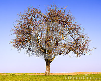 Lonely pear tree