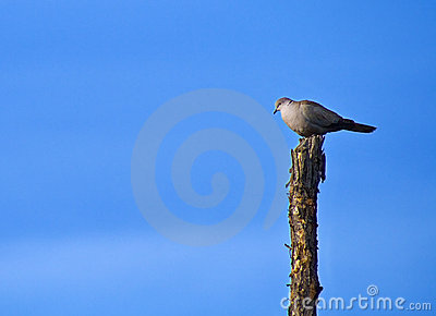Lonely pigeon on chopped tree