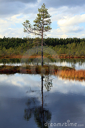 Lonely pine in the middle of a swamp