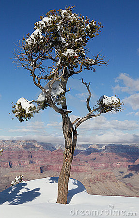 Lonely pine at the rim of the Grand Canyon
