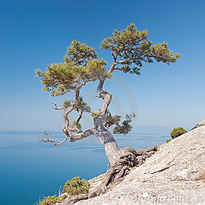 Lonely pine on the rock