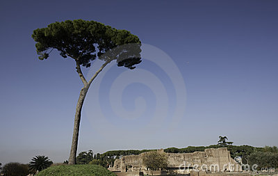 Lonely pine tree on Palatine hill