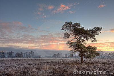 Lonely pinetree on a frosty morning