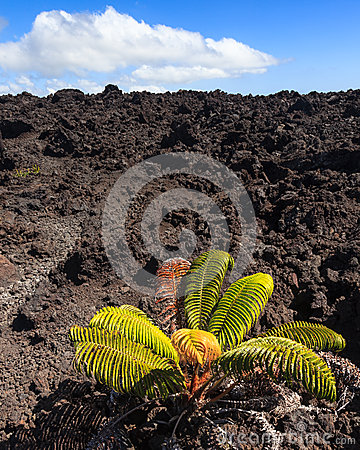 Lonely Plant on a Lava Field