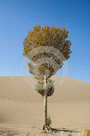 A lonely poplar beside the sand dune